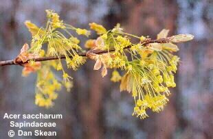 Acer saccharum