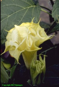 Datura metel 'Golden Queen'