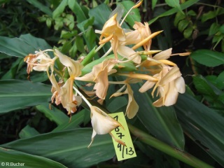 Hedychium 'Double Eagle'