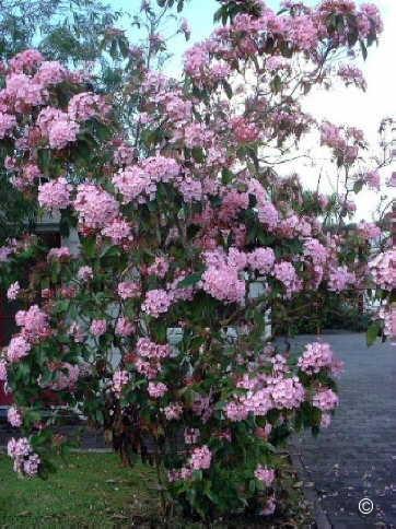 exotische nutz und zierpflanzen luculia gratissima rosea. Black Bedroom Furniture Sets. Home Design Ideas