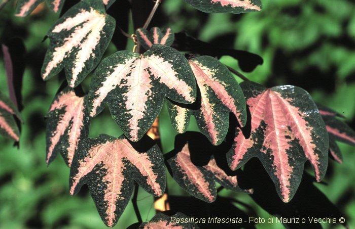 Пассифлора Passiflora Passiflora_trifasciata