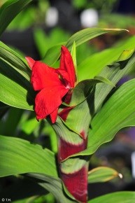 Roscoea purpurea 'Red Gurkha'
